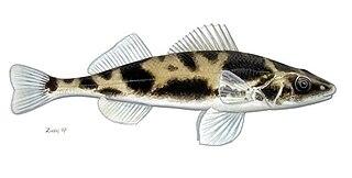 <i>Zingel zingel</i> Species of fish