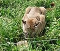 Zoo Tábor-Větrovy, puma 01.jpg