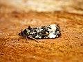 (1097) Endothenia gentianaeana (27981289701).jpg