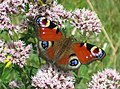(European) Peacock butterfly - geograph.org.uk - 908556.jpg