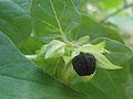(Mirabilis jalapa) seed closeup at Bandlaguda 02.JPG