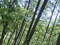 Árboles en Chipinque.JPG