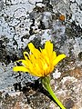 Λουλούδι Ολύμπου-.jpg