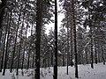 Барнаульский ленточный бор зимой. 2008 год..JPG