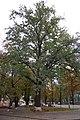Віковий дуб (160-річний).JPG
