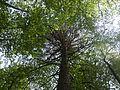 Дерево Ичалок.jpg