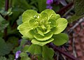 Молочай-солнцегляд - Euphorbia helioscopia - Sun Spurge - Слънчева млечка - Sonnwend-Wolfsmilch (24413004582).jpg
