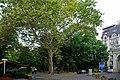 Одеса, Платан західний (Одеса, сквер Пале-Рояль, № 2)P1250998.jpg
