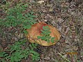 Подосиновик в лесу Байкала.jpg