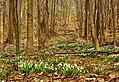 Підсніжники в лісі.jpg