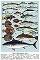 Риби Запорізької області. Табл.6.jpg