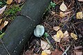 Строфарія синьо–зелена IMG 3817.jpg