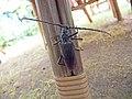 Усач большой дубовый Cerambyx cerdo Great capricorn beetle Голям сечко Großer Eichenbock (42000085970).jpg