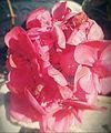 עלי כותרת של פרח ורוד.jpg