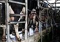 פרות בחליבה.jpg