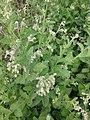 சர்க்கரைத் துளசி- Stevia rebaudiana 4.jpg
