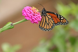 English: Monarch butterfly(Danaus plexippus) o...