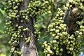 มะเดื่ออุทุมพร Ficus racemosa L (12).jpg