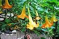ბრუგმანსია Brugmansia versicolor Angel's Trumpet.jpg