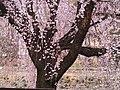 一丁目しだれ桜 2.JPG