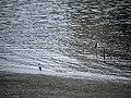 兩隻夜鷺 淡水河紅樹林自然保留區 ID:17753 Youngson Ho 145693.jpg