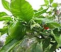 墨西哥魔鬼椒 Capsicum chinense 'Red Savina' -香港北區花鳥蟲魚展 North District Flower Show, Hong Kong- (23803649209).jpg