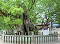 大山祇神社の大楠-Oyamazumi Shrine's camphor - panoramio (1).jpg
