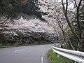 宇賀岳の桜 - panoramio.jpg