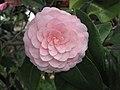 山茶花-美人茶 Camellia japonica 'Meirencha' -香港花展 Hong Kong Flower Show- (9173504594).jpg