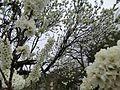 木に咲く花 - panoramio (1).jpg