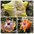 朱槿 Hibiscus rosa-sinensis cultivars -日本大阪鮮花競放館 Osaka Sakuya Konohana Kan, Japan- (28254715698).jpg