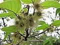 構樹-雌花 Broussonetia papyrifera -高雄原生植物園 Kaohsiung Original Botanical Garden, Taiwan- (41431023844).jpg