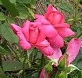 玫瑰 Rosa Ernest H Morse -日本廣島和平紀念公園 Hiroshima Peace Memorial Park, Japan- (35622414811).jpg