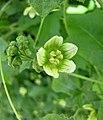白瀉根 Bryonia alba -哥本哈根大學植物園 Copenhagen University Botanical Garden- (36724153920).jpg