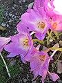 秋水仙 Colchicum Rosy Dawn -英格蘭 Brockhole, England- (9200928966).jpg