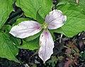 紅大花延齡草 Trillium grandiflorum v roseum -比利時 Ghent University Botanical Garden, Belgium- (9193429146).jpg