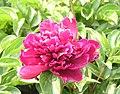 芍藥-老來紅 Paeonia lactiflora 'Red When Old' -瀋陽植物園 Shenyang Botanical Garden, China- (12403895593).jpg