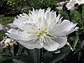 芍藥-銀絲環翠 Paeonia lactiflora 'Silver Thread around the Green' -北京景山公園 Jingshan Park, Beijing- (12403735245).jpg