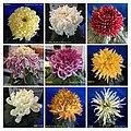 菊花 Chrysanthemum morifolium Cultivars 9 -上海松江方塔園 Song Jiang, Shanghai- (11994576215).jpg