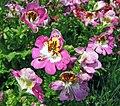 蛾蝶花 Schizanthus pinnatus -上海國際花展 Shanghai International Flower Show- (17352586382).jpg