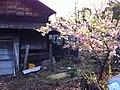 調布の桜 - panoramio.jpg