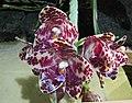 象耳蘭 Phalaenopsis gigantea 'Jumbo Orchids' -香港蘭花節 Hong Kong Orchid Festival- (40806751564).jpg