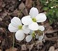 高加索南芥 Arabis alpina ssp caucasica -比利時國家植物園 Belgium National Botanic Garden- (9240278346).jpg