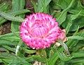 麥稈菊 Xerochrysum bracteatum (Helichrysum bracteatum) -香港房委樂富花展 Lok Fu Flower Show, Hong Kong- (9190645773).jpg