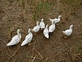 0358jfLands Culianin Ducklings Plaridel Cattle Fieldsfvf 15.JPG