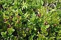 0 Vaccinium myrtillus - Vallorcine (1).jpg