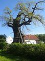 1000-jährige Eiche Nöbdenitz.jpg