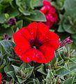 1024 Petunia × atkinsiana-5152.jpg