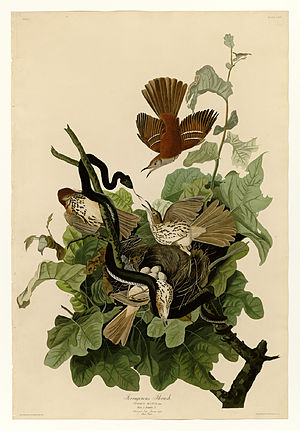 Brown thrasher - John James Audubon's picture depicting ferruginous thrush
