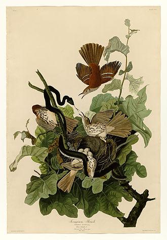 Brown thrasher - John James Audubon's picture depicting ferruginous thrush